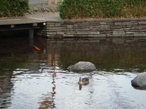 鯉とカモを発見!