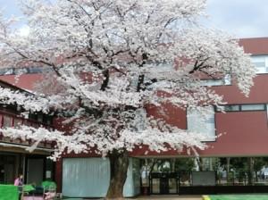 満開の桜にうっとり☆